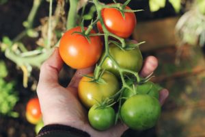 Garden tomatoes- 10 reasons to start a garden today
