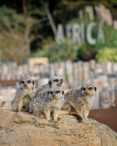 Meerkats at animal sanctuary