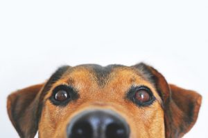 Brown and black dog face. Remember pets in your budget.